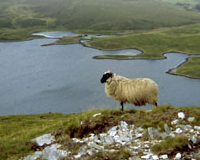 Look for a irish Sheep